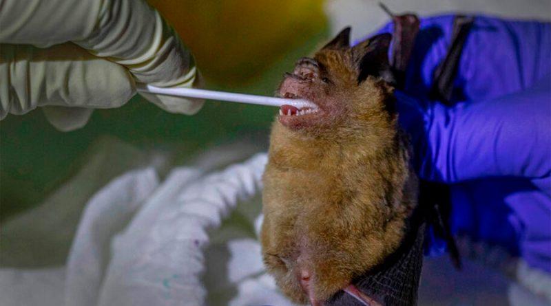 Buscan origen del coronavirus en murciélagos de Tailandia