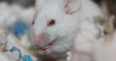 Consiguen eliminar cánceres resistentes a la inmunoterapia, en un estudio con ratones