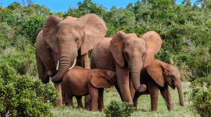 La pandemia provoca un 'baby boom' de elefantes en Kenia: 140 nuevas crías desde que llegó el Covid