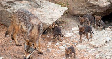 Nacen 8 cachorros de lobo gris mexicano en el Museo del Desierto de Saltillo, Coahuila