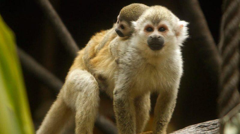 La inteligencia del mono araña es tan sofisticada como la de una computadora: estudio de la UNAM