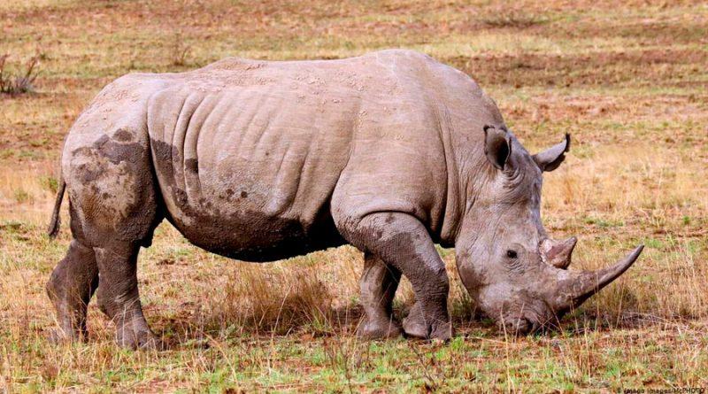 Sudáfrica: por pandemia la caza furtiva de rinocerontes se redujo en un 53%