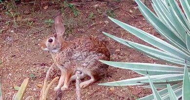 La enfermedad hemorrágica viral de los conejos llega a México