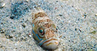 Un pez araña, culpable de la muerte de un menor en una playa de Gerona