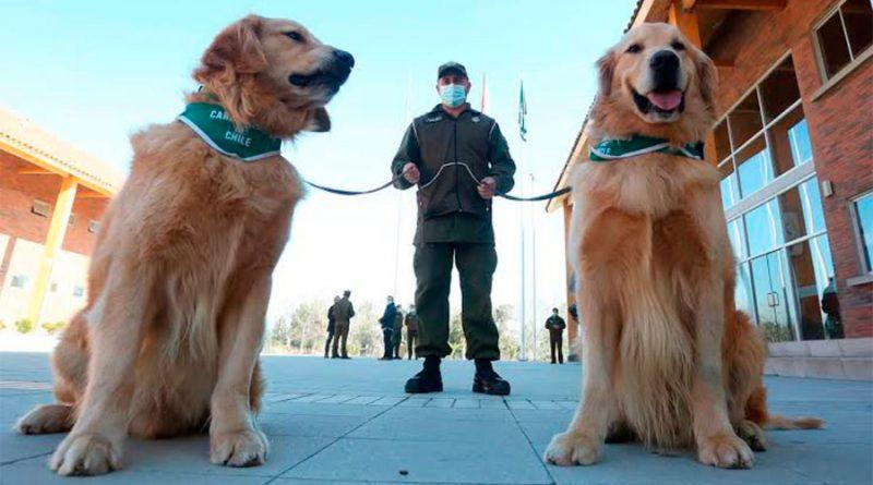 Entrenan a perros en México para detectar a enfermos de coronavirus