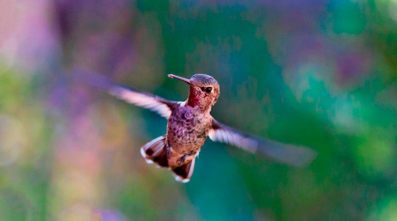Descubren cómo los colibríes consiguen atravesar cascadas
