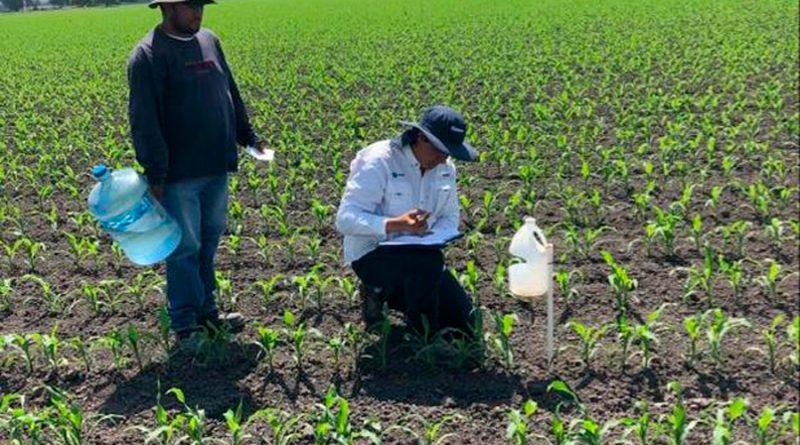 """""""Confusión sexual""""; usan feromonas para control de plagas en el campo mexicano"""