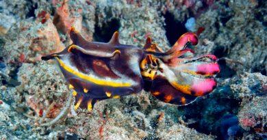El cefalópodo Metasepia pfefferi, una sepia extravagante solo en ocasiones especiales