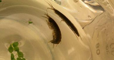 Un crustáceo fragmenta el plástico en tamaños menores que una célula