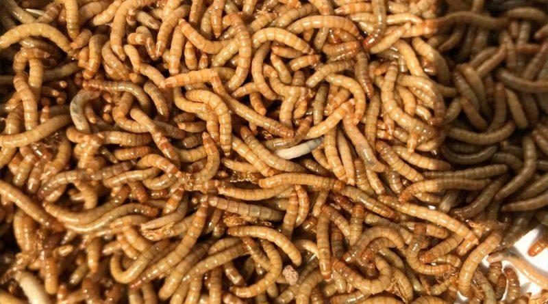 El gusano de la harina, prometedora fuente alimenticia de proteínas