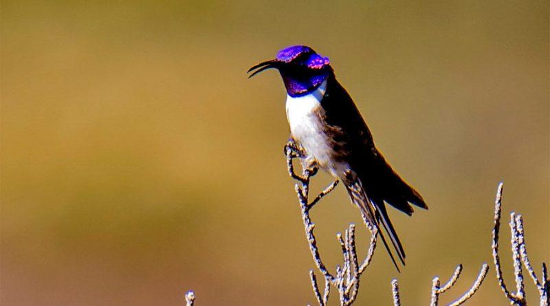 El colibrí que maravilló a la ciencia con su canto único de contratenor