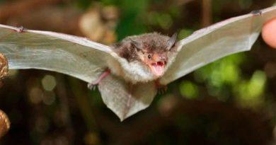 Reconocen tres nuevas especies de murciélagos: las descubren por el hueso del pene