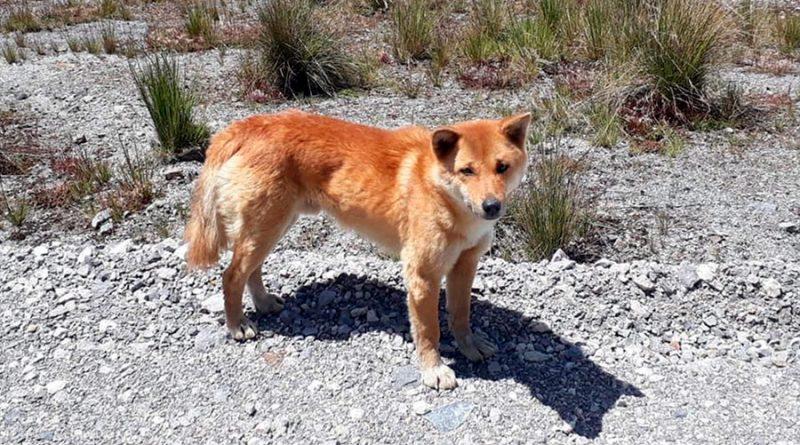 Sorpresa: encuentran ejemplares de una raza de perros cantores considerada extinta