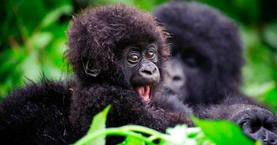 """Baby boom"" de gorilas en Uganda: nacen cinco en seis semanas"