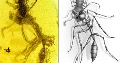 Hormiga atrapada en ámbar muestra cómo mataban a sus presas las temibles hormigas del infierno
