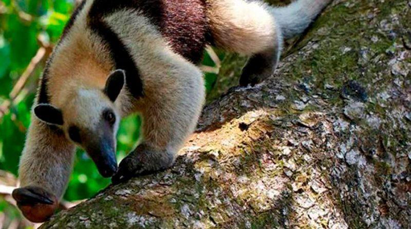 En declive población de oso hormiguero en Yucatán por depredación e invasión de su hábitat