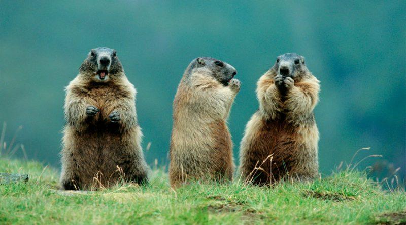 Descubren que las marmotas se comunican por dialectos