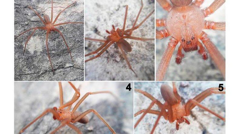 Descubren en México una nueva especie de araña violinista