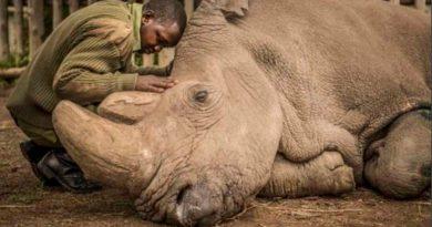 Científicos recolectan más óvulos de rinoceronte blanco norteño para salvarlo de su extinción