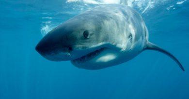 Revelan el real tamaño del tiburón gigante Megalodón prehistórico: más de 12 metros