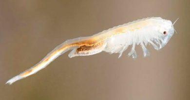 Descubren nueva especie de crustáceo en el lugar más caluroso de la Tierra