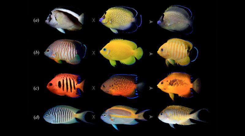 Algunos peces tropicales se están volviendo más coloridos