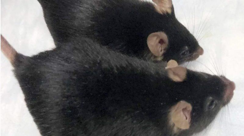 Unos roedores enviados al espacio volvieron convertidos en super ratones