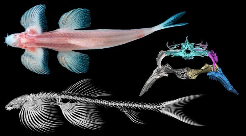 Estudio muestra que once especies de peces podrían ser capaces de caminar