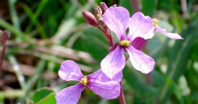 Descubren una planta que produce flores radicalmente diferentes en primavera y verano