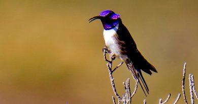 Un colibrí ecuatoriano maravilló a la ciencia con su canto de contratenor