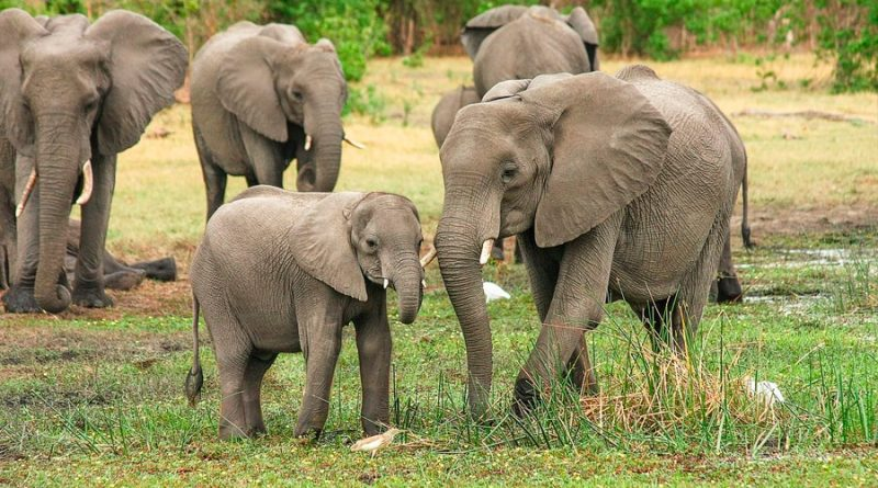 Un zoológico de Polonia administrará cannabis medicinal a los elefantes para reducir su estrés