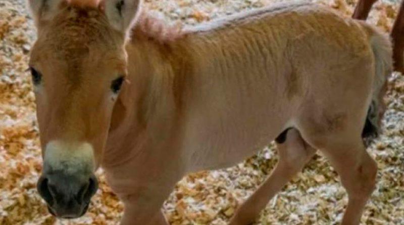 El padre de este pequeño caballo murió 22 años antes de que naciera