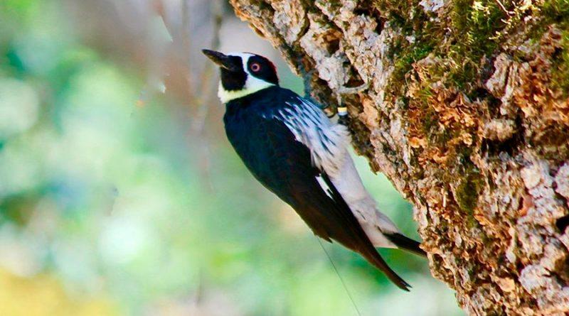 Los pájaros carpinteros van a la guerra por territorios valiosos