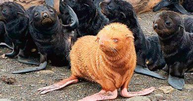 'Patito feo', el lobo marino albino que no es aceptado por otros de su especie