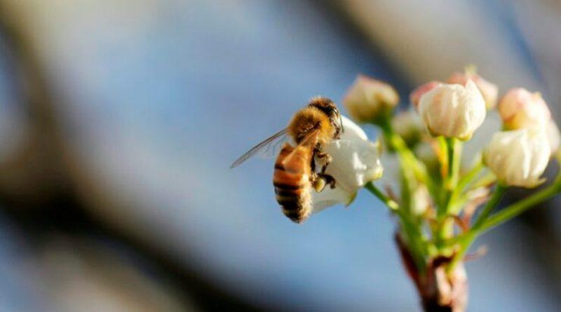 El tamaño del cerebro de las abejas depende de su dieta