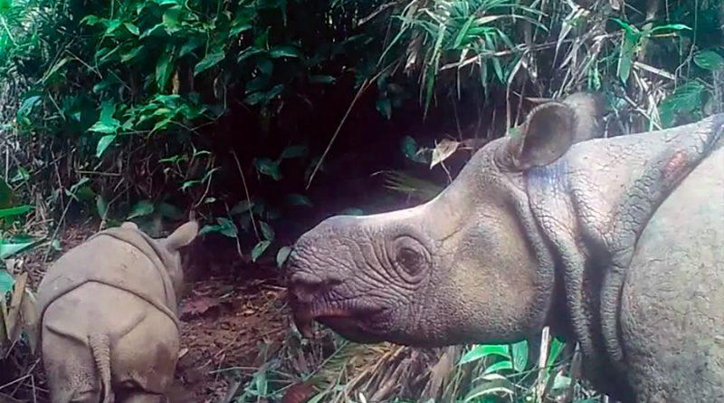 Avistados en parque indonesio dos cachorros de rinoceronte de Java, especie en extinción