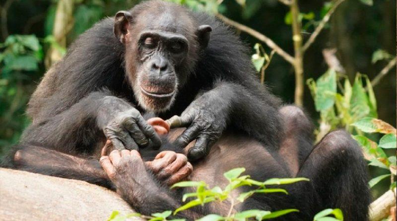 Los chimpancés también pueden sufrir de por vida si quedan huérfanos