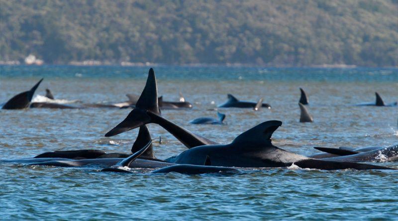 Mueren en Australia 380 ballenas varadas en una bahía