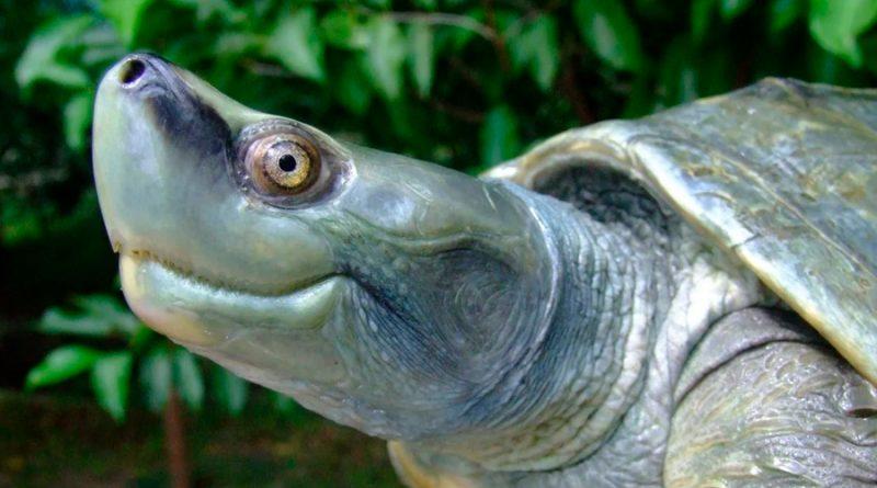 Cómo hicieron para salvar a una tortuga que estaba casi extinta