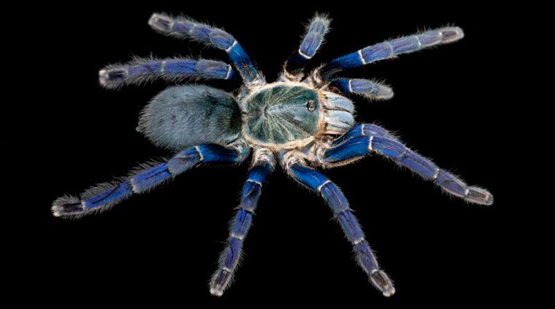 Resuelven el enigma de las arañas azules