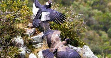 Una pareja entregada a su nido, la carta de salvación de los cóndores andinos