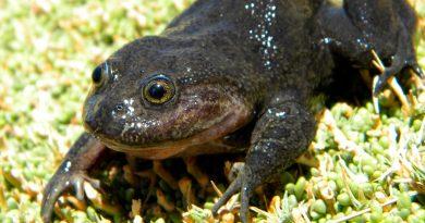 """Encuentran una rana """"fantasma"""" que desapareció hace 80 años, en un desierto de Chile"""