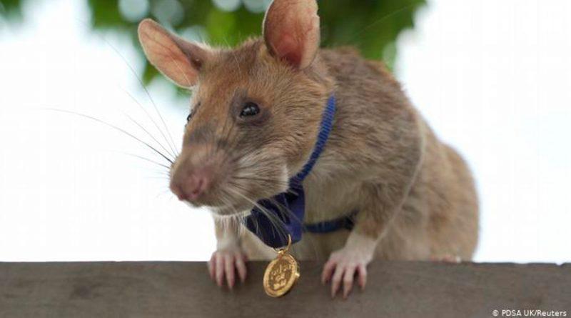 Una medalla de oro para Magawa: la rata que fue premiada por detectar minas