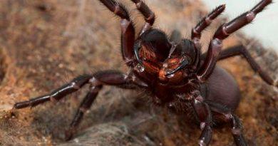 Descubren por qué esta araña es capaz de matar a un humano adulto