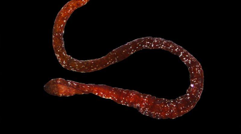 Descubren en Panamá especie de nemertino único en su género en el Caribe