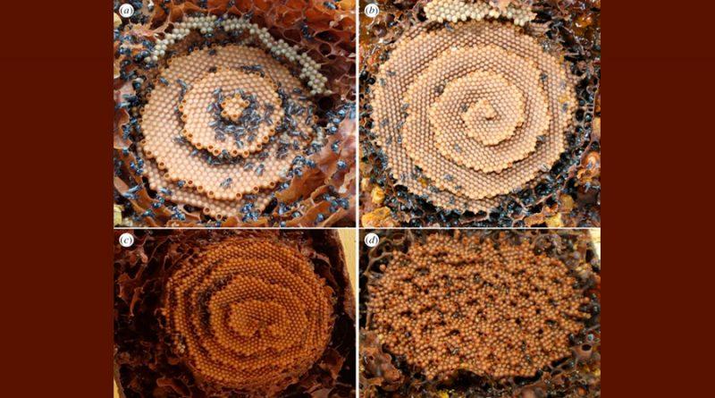 Qué patrones matemáticos siguen las abejas para fabricar sus perfectos panales