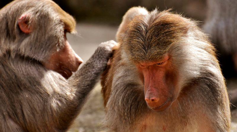 Los monos babuinos que tienen amigas viven más tiempo