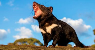 Regresan los demonios de Tasmania a Australia 3 mil años después