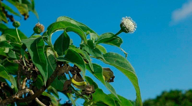 Desvelan la explosiva diversificación de las margaritas en las Galápagos