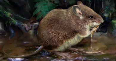Científicos descubren dos nuevas especies de ratones semiacuáticos